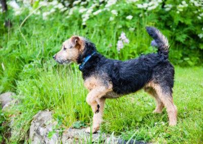 lakeland-terrier-908690_1920