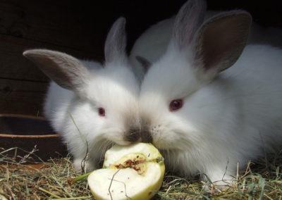 rabbits-1083890_1920